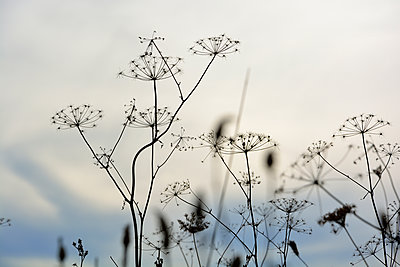 Wild Carrots - p876m1503917 by ganguin