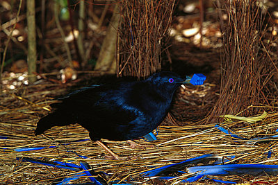 Satin Bowerbird male displaying blue objects near the bower to attract the female - p8844528 by Cyril Ruoso