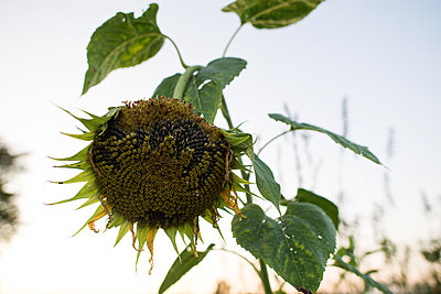 Drooping sunflower seedhead against clear sky - p924m2003792 by Viara Mileva