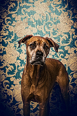 Dog in front of wallpaper - p947m951060 by Cristopher Civitillo