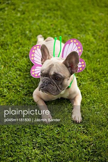 Schmetterlings-Hund ruht sich aus - p045m1181830 von Jasmin Sander