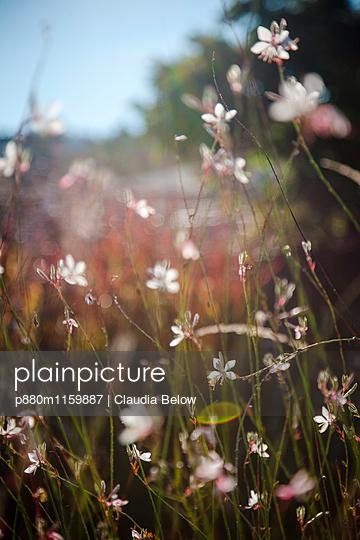 Prachtkerze - p880m1159887 von Claudia Below