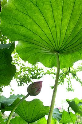 Lotus Leaf - p307m700521f by Tetsuya Tanooka