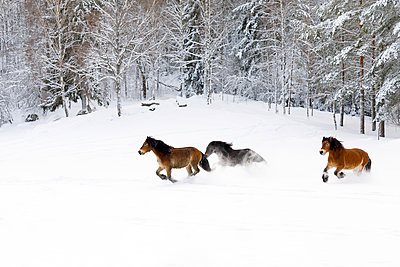 Brown horses running through snow - p352m2120290 by Åke Nyqvist