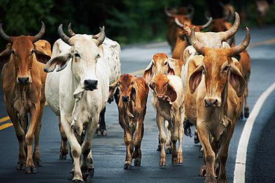 Kühe, Nicaragua - p844m880773 von Markus Renner