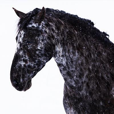 Frisian horse in winter - p300m2005359 von Tom Chance