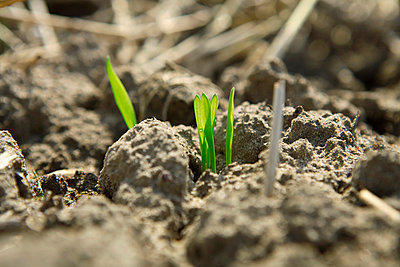Germany, Bavaria, Wheat seedling growing on field - p300m752934f by Tanja Niesen