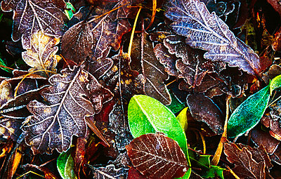 Frozen oak leaves, Glenveagh National Park, County Donegal, Ireland - p4429108 by Gareth McCormack