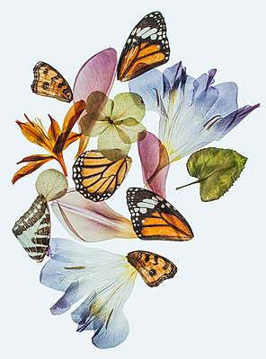 Dehydrated flowers and butterfly wings - p971m2055311 by Reilika Landen