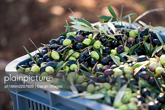 Bin of picked olives at olive orchard - p1166m2207926 by Cavan Images