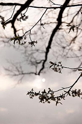 Zweig mit Kirschblüten - p533m1474832 von Böhm Monika