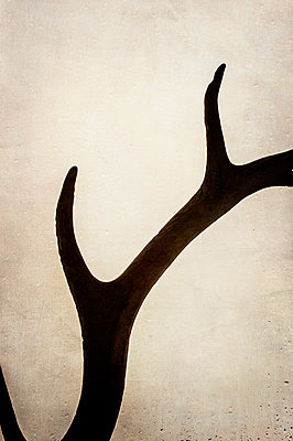 Antler against a rainy window pane - p1047m1007722 by Sally Mundy