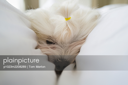 Close up cute white dog laying in blanket - p1023m2208289 by Tom Merton