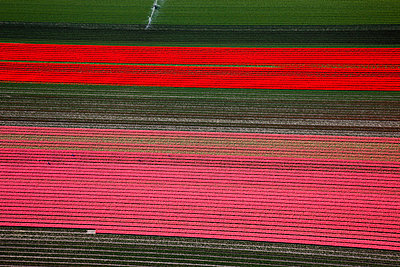 Red tulips - p1120m948340 by Siebe Swart