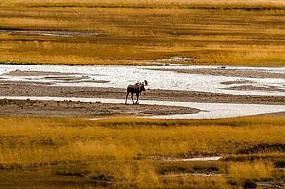 Einsamer Elch wandert durch Landschaft - p1455m2203753 von Ingmar Wein