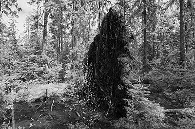 Wurzelteller, umgestürzte Fichte, Nadelwald - p1463m2192579 von Wolfgang Simlinger