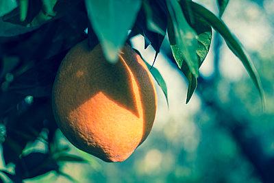 Orange am Baum - p1486m1573146 von LUXart