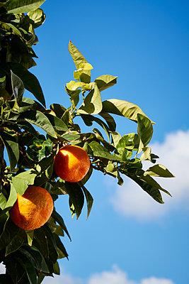 Oranges on tree - p851m1528901 by Lohfink