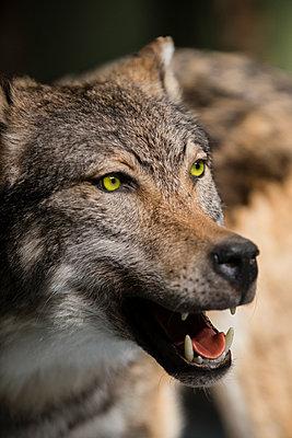 Ausgestopfter Wolf - p1046m1045311 von Moritz Küstner
