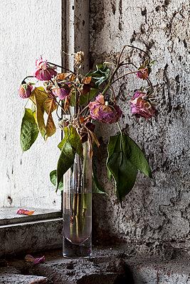 Vertrocknete Damascenarosen in einer Vase am Fenster - p1383m1465252 von Wolfgang Steiner
