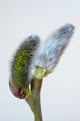 Blooming pussy willow - p300m2277732 by Wilfried Wirth