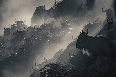 Wildebeest migration crossing the Mara River in black and white, Serengeti National Park, Tanzania, Africa - p651m2271103 by Paul Joynson Hicks photography
