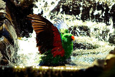 Badender Papagei - p7720019 von bellabellinsky