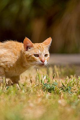 Lauernde Katze - p076m1083065 von Tim Hoppe