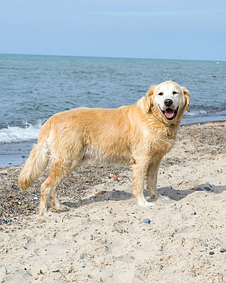 Golden Retriever am Strand - p1199m2007955 von Claudia Jestremski