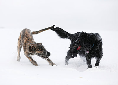 Irish Wolfhound puppy and black mongrel (Canis lupus familiaris) playing together on snow-covered meadow - p300m926655f by Silke Klewitz-Seemann