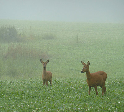 Roedeers on summer meadow - p4264229f by Mats Andersson