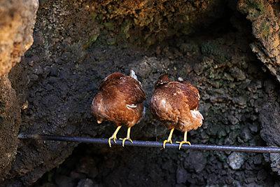 Hühner auf der Stange - p1064m1564522 von Esmeralda