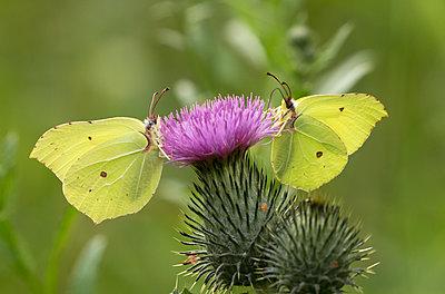 Two Brimstone Butterflies - p1251m1203676 by Heikki Tabell