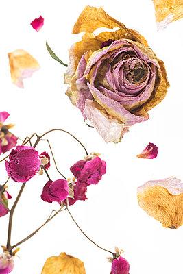 Getrocknete Rosenblüten - p666m948663 von Sennaa