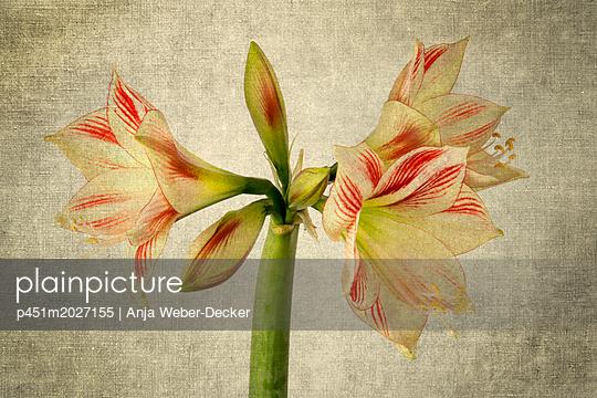 Amaryllis - p451m2027155 von Anja Weber-Decker