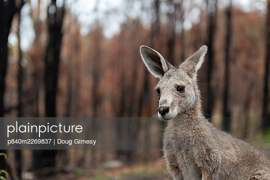 Eastern grey kangaroo (Macropus giganteus) on the burnt grounds of Wallabia Wildlife Shelter. The shelter was destroyed during the 2019/20 bushfires. This male kangaroo (called 'Link') was one of the animals evacuated by owners Rena and Joseph, who also l - p840m2269837 by Doug Gimesy