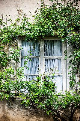 Rosenbusch am Fenster - p248m1030756 von BY