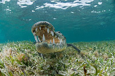 Underwater front view of crocodile on seagrass, open mouthed showing teeth, Chinchorro Atoll, Quintana Roo, Mexico - p429m1102938f by Rodrigo Friscione