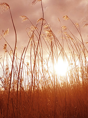 Grass at sunset - p597m1574267 by Tim Robinson