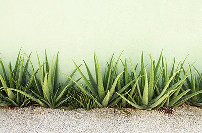 Aloe Vera - p045m777546 by Jasmin Sander