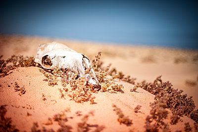 Skull of dead camel in the desert - p1007m1144435 by Tilby Vattard