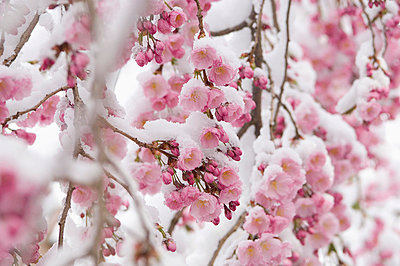 Snow covered cherry blossom - p300m659982f by Achim Sass