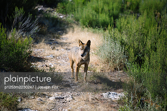 Spanien, Cantabria, Wolf - p1253m2230247 by Joseph Fox