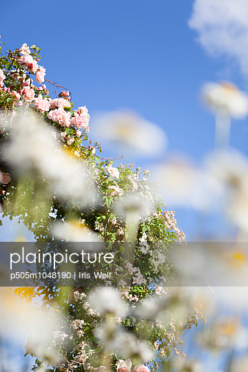 Rosen im Sonnenschein - p505m1048190 von Iris Wolf