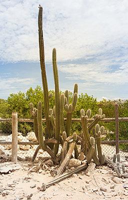 Kaktus vor Zaun - p045m2008094 von Jasmin Sander