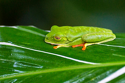 Red-eyed tree frog - p162m1025641 by Beate Bussenius