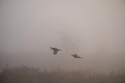 Two pheasants in flight - p739m2039111 by Baertels