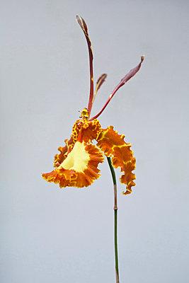 Orchidee - p781m823282 von Angela Franke