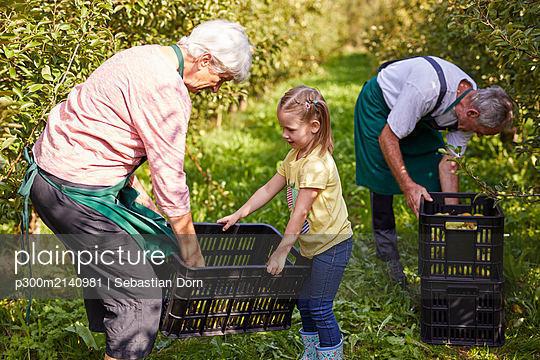 Girl harvesting organic williams pears, helping farmers - p300m2140981 by Sebastian Dorn