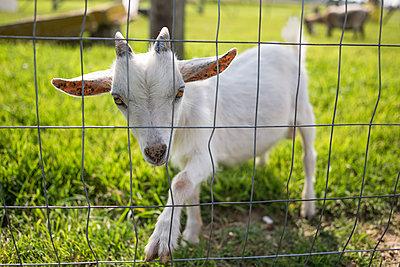 Portrait of white goat kid by fence on grassy field - p1166m1545091 by Cavan Social